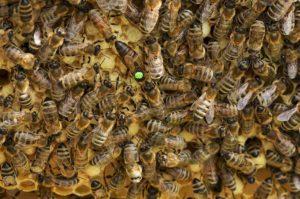 Bienen Bienenvolk Schweizer Honig
