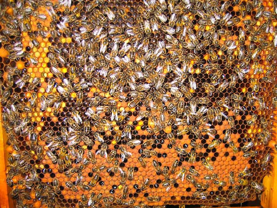 Bienen Brutwabe Bienenhonig