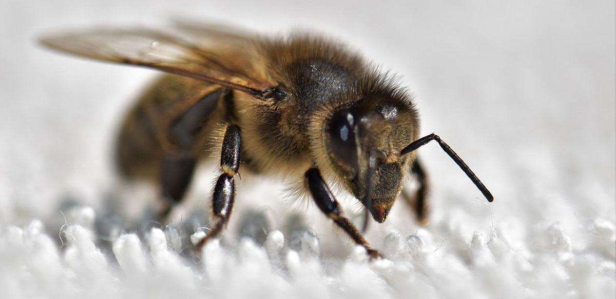Bienen BirdyBees